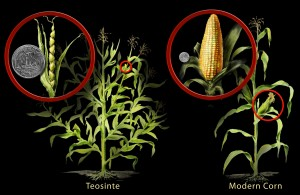 corn and teosinte h1