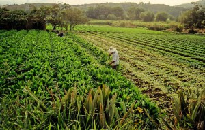 Cover photo for Latin American GMO Powerhouse Brazil Expands Portfolio of Crops With Intro of New Herbicide Resistant Soy