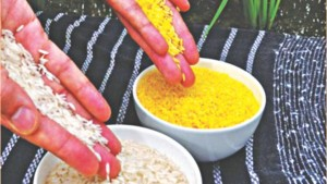 Cover photo for Bangladeshi scientists ready for trial of world's first 'Golden Rice'