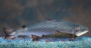 Cover photo for Genetically Engineered Salmon Approved for Consumption
