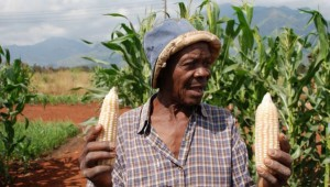 Cover photo for Smallholders Gaining From Nitrogen-Efficient Maize