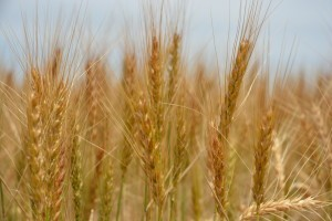 Cover photo for New Wheat Genetic Advancements Aimed at Yield Enhancement