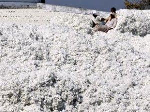 Cover photo for Monsanto faces challenge from CICR's Bt cotton varieties