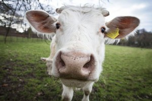 Cover photo for Opposition to Genetically Modified Animals Could Leave Millions Hungry