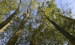 Cover photo for With 90% of the UK's ash trees about to be wiped out, could GM be the answer?