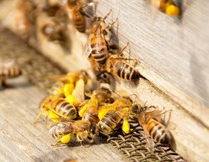 Cover photo for Scientists to Breed Genetically Modified Bees: Here's Why