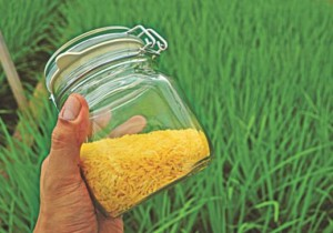 Cover photo for Golden Rice Trials in Bangladesh Show High Promise