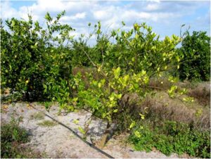 Cover photo for Scientist Race to Use Virus to Save Florida Orange Trees
