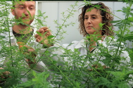 Cover photo for Scientists Discover Gene That Doubles Production of Malaria Drug in Artemisia Annua Plant