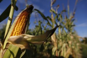Cover photo for The EPA  Approves Monsanto's New RNA Interference Genetic-Engineering Technology in Corn