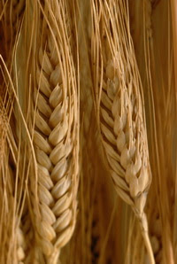 Cover photo for Scientist Create Genetically Engineered Wheat With Lower Gluten Levels
