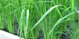Cover photo for Genetically Engineered Rice Transports Micronutrients More Efficiently